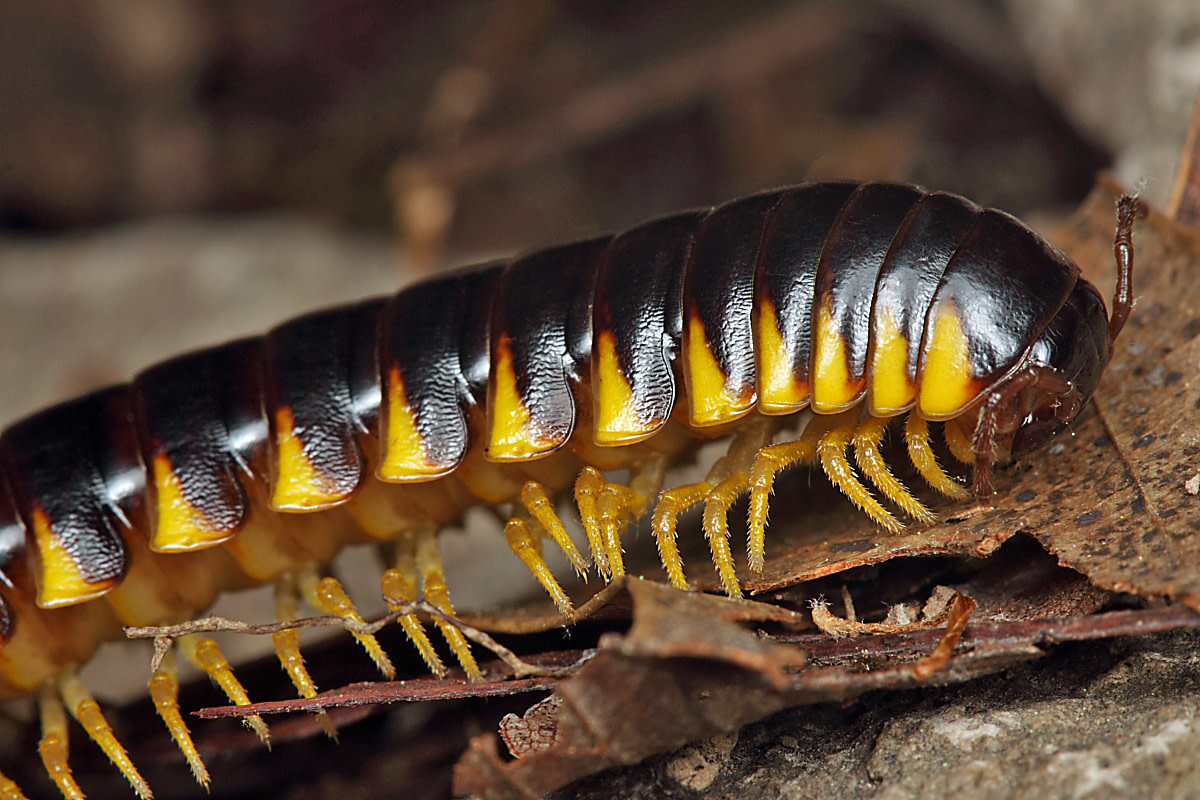 The bright patterns on the millipedes from Apheloria species signal the presence of a cyanide compound so deadly it could kill a bird.