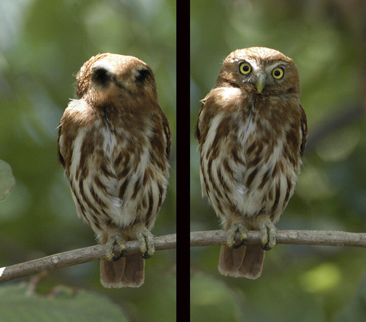 False eyes on the back of the head of Pygmy Owls  ( Glaucidium Brasilianum) show a good case of Automimicry
