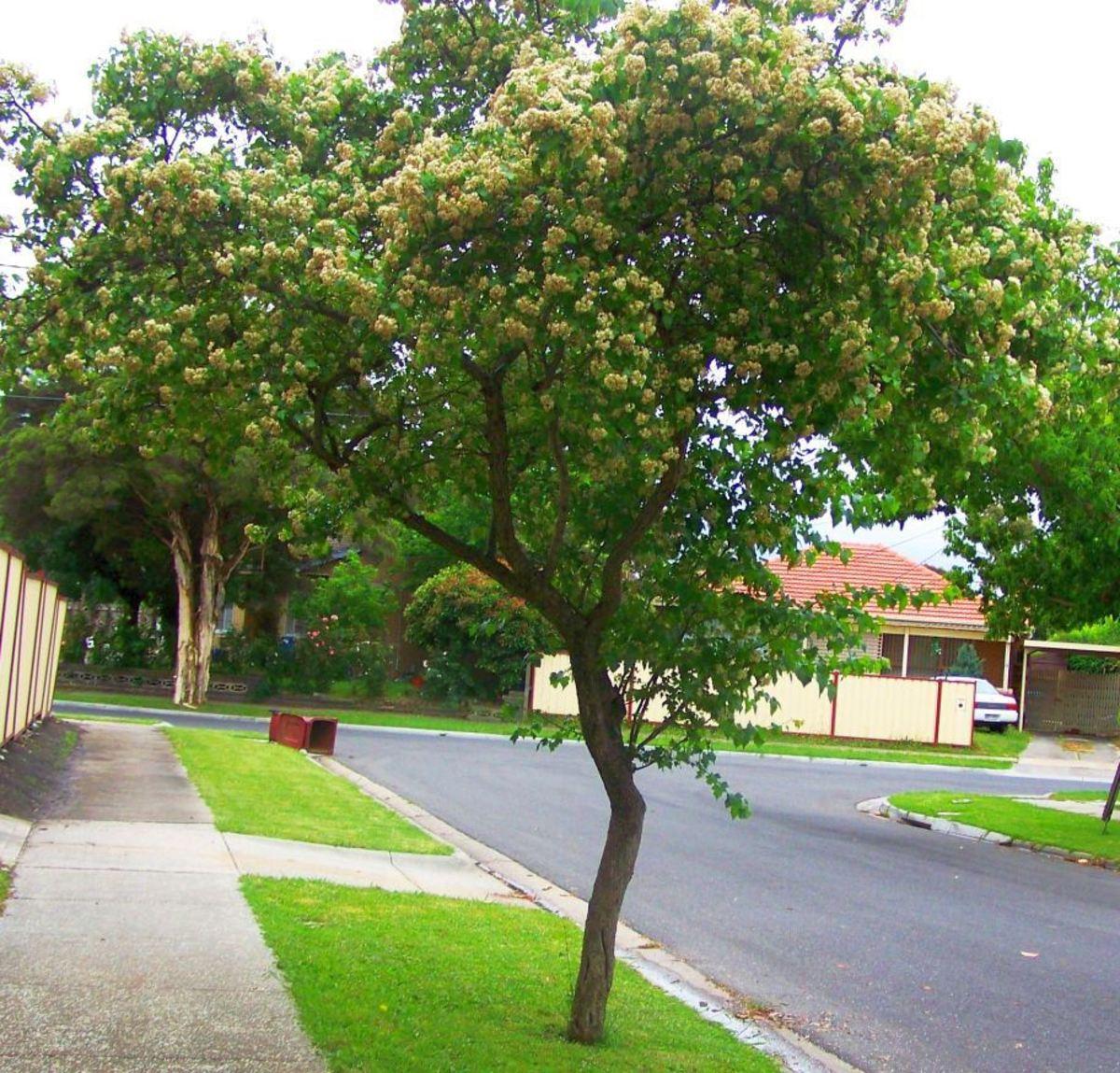 Washington hawthorn tree