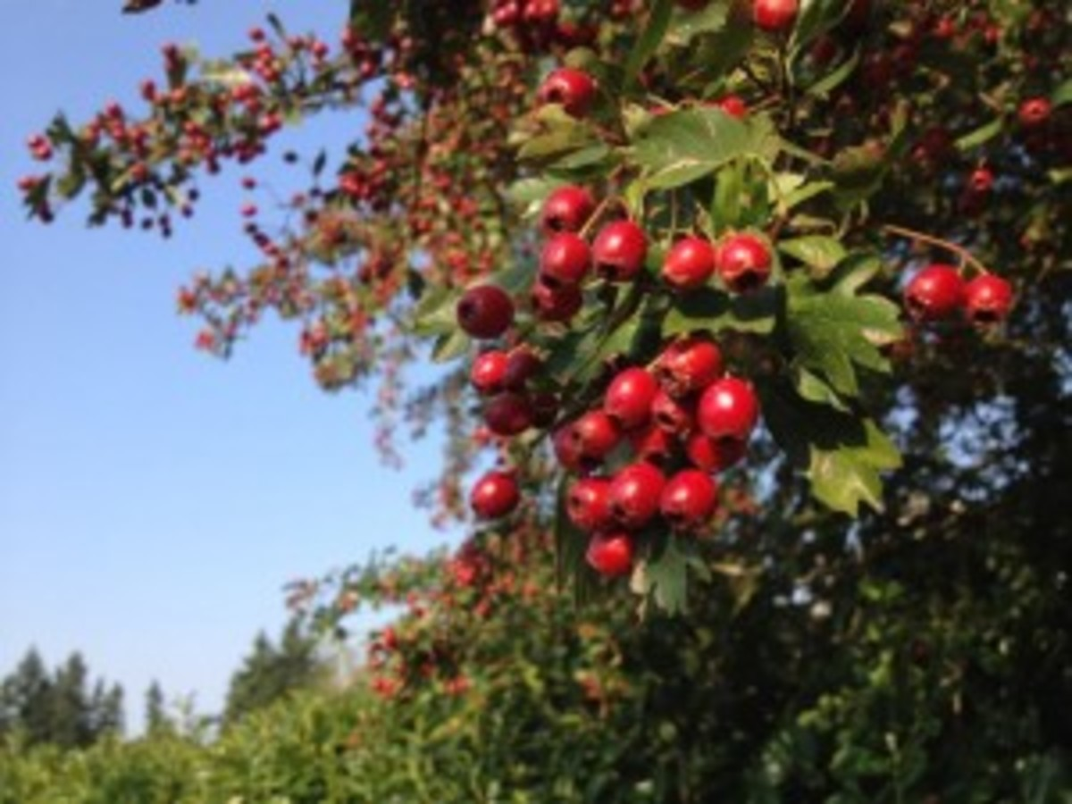 Hawthorn berries on a shrub or small tree. A shrub is a woody plant of relatively low height.