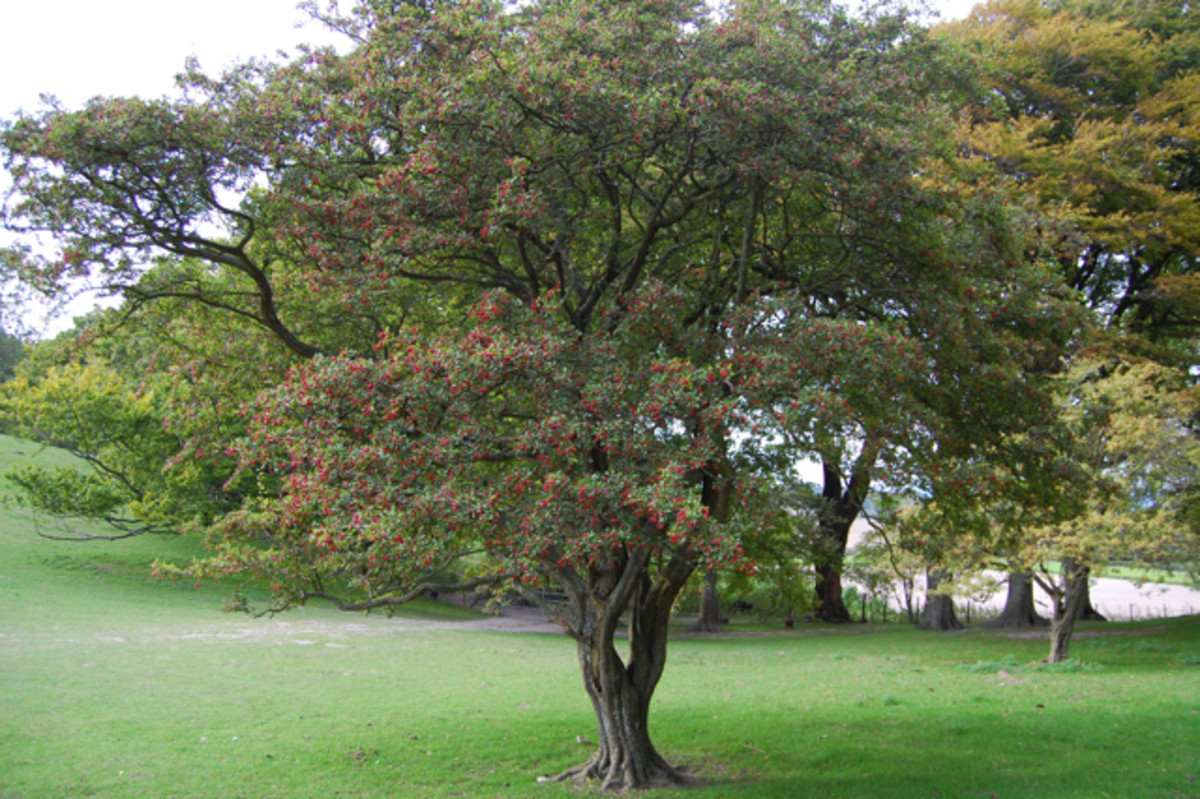 Another hawthorn berry tree.