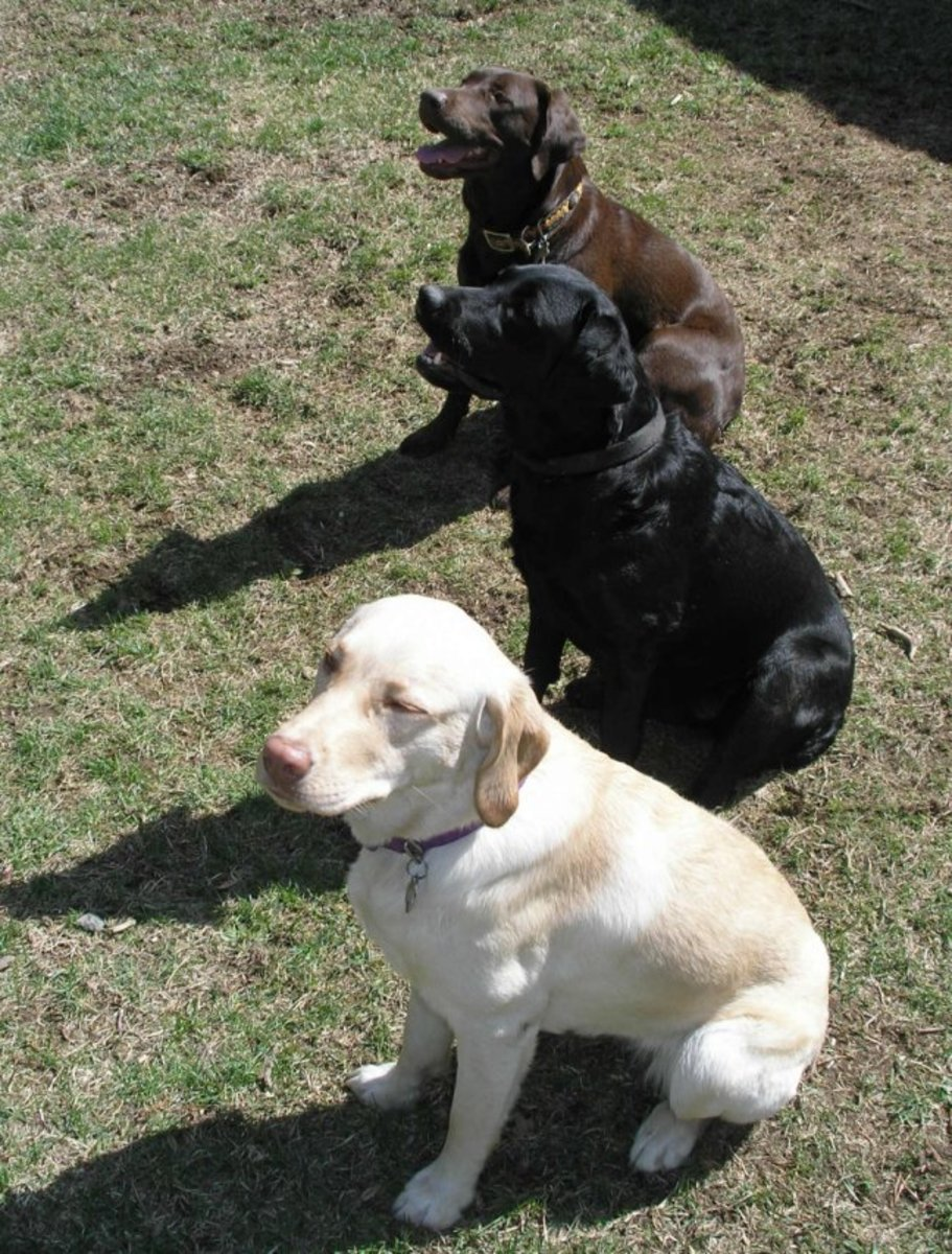 The three basic Labrador Retriever colors