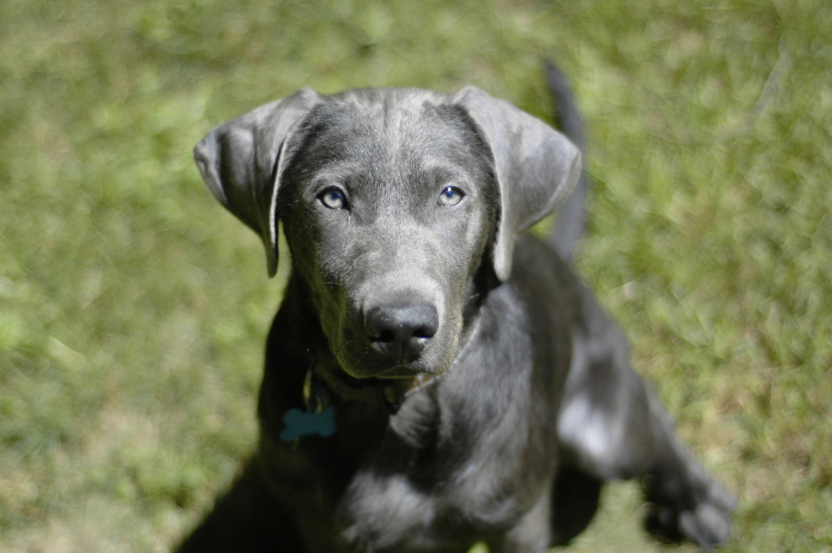Silver Labrador Retriever