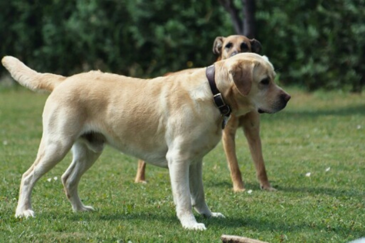 Yellow Grown Labrador