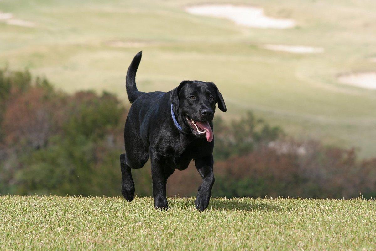 Black Grown Labrador