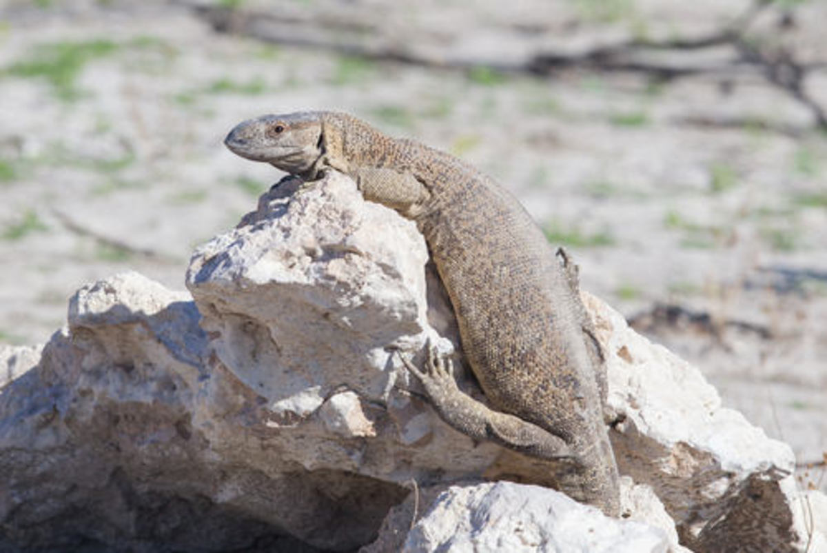 Animals that hibernate--Lizards
