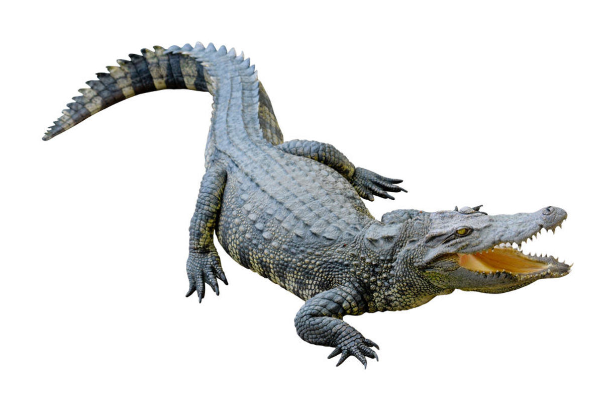 Alligators are among animals that hibernate