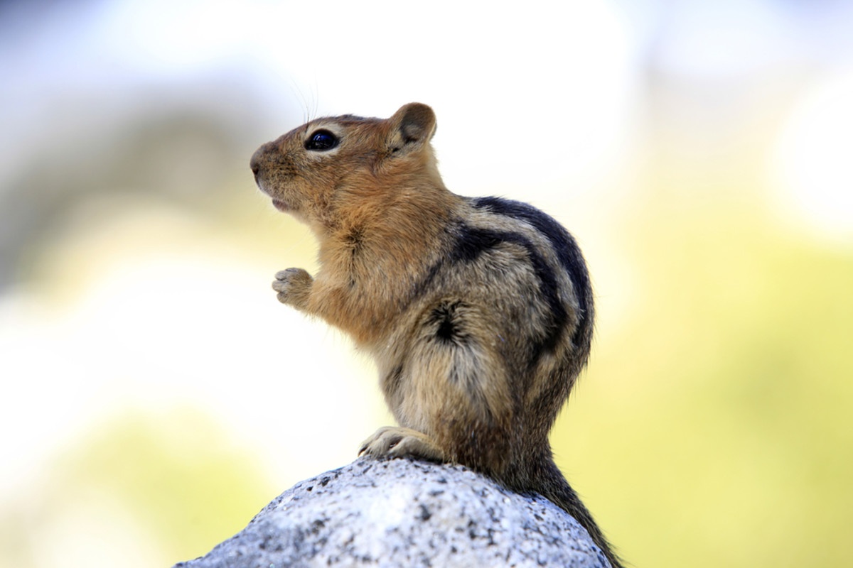 Animals that hibernate--Squirrels