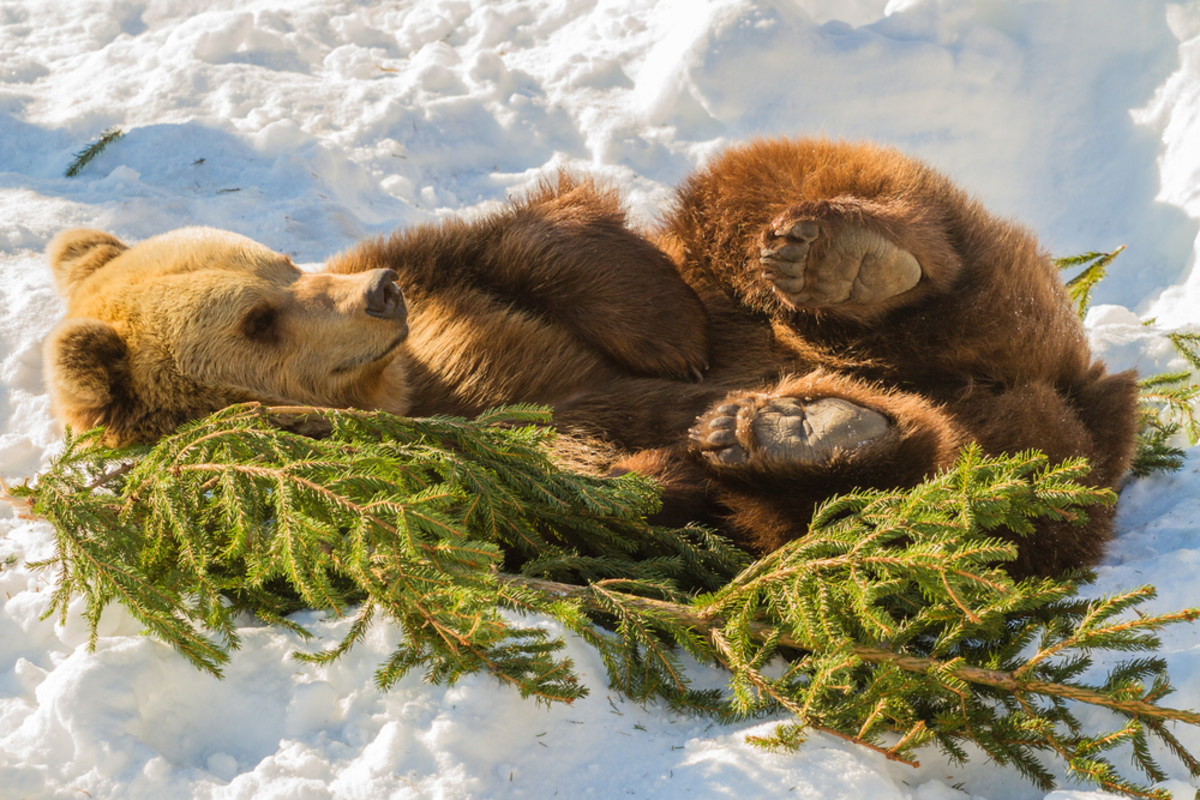 Animals that hibernate--Bears