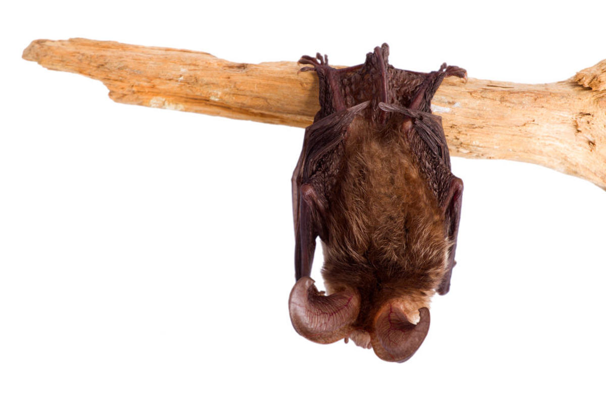 Animals that hibernate--Bats