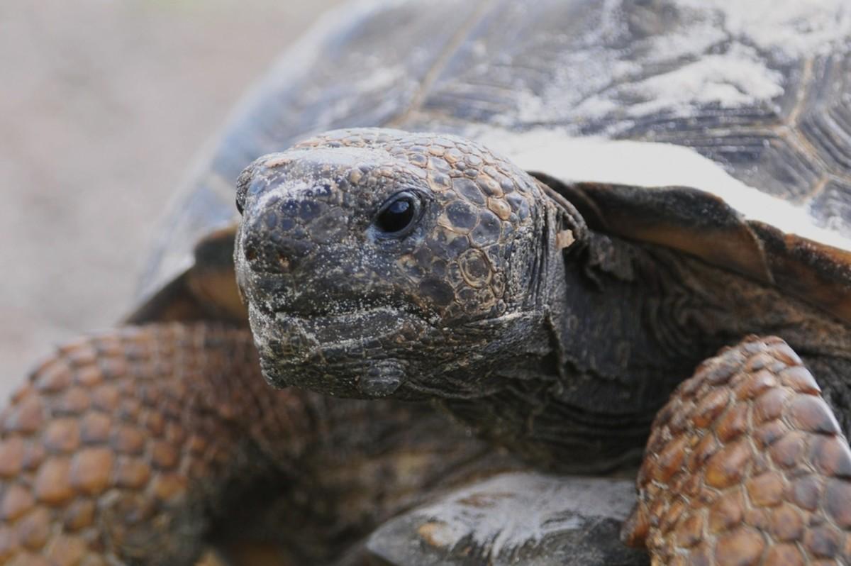 Animals that hibernate--Gopher Tortoise