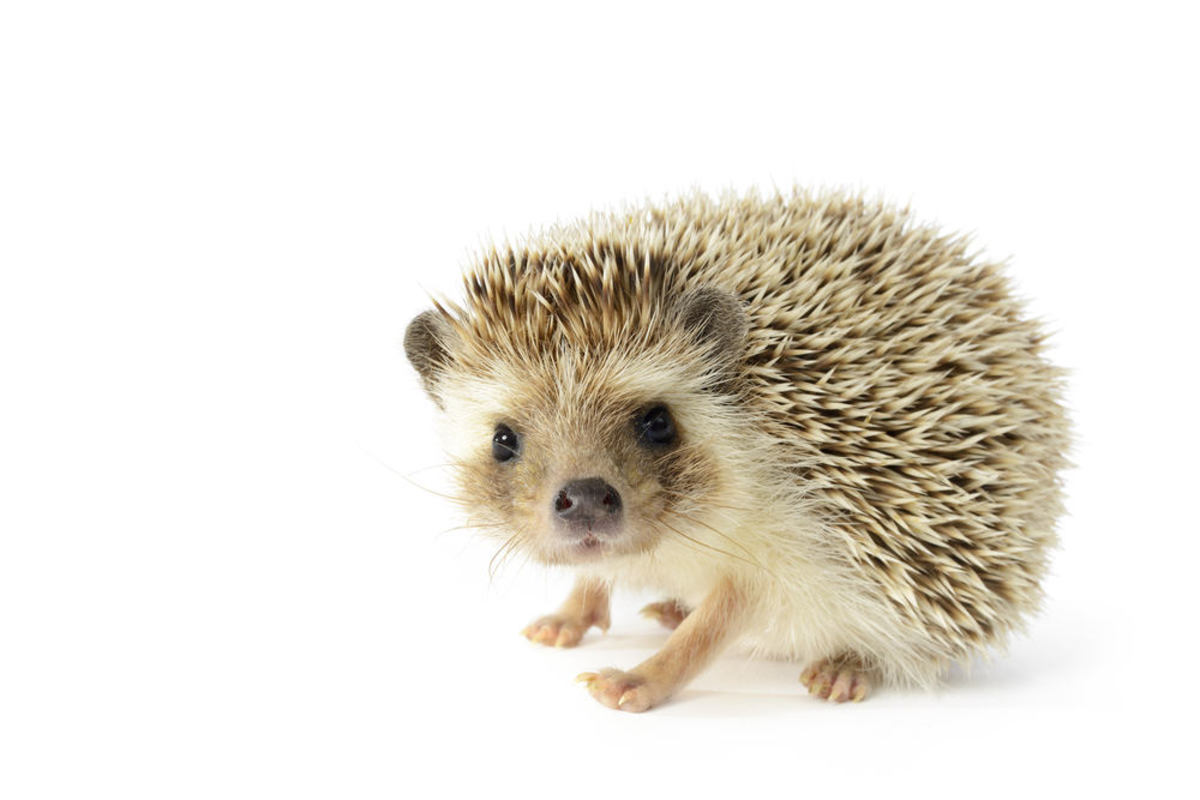 Animals that hibernate--Hedgehogs