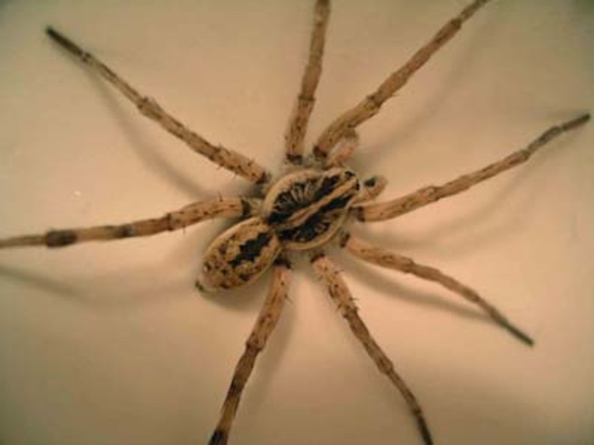 Wolf Spider Bite: What You Need To Do?