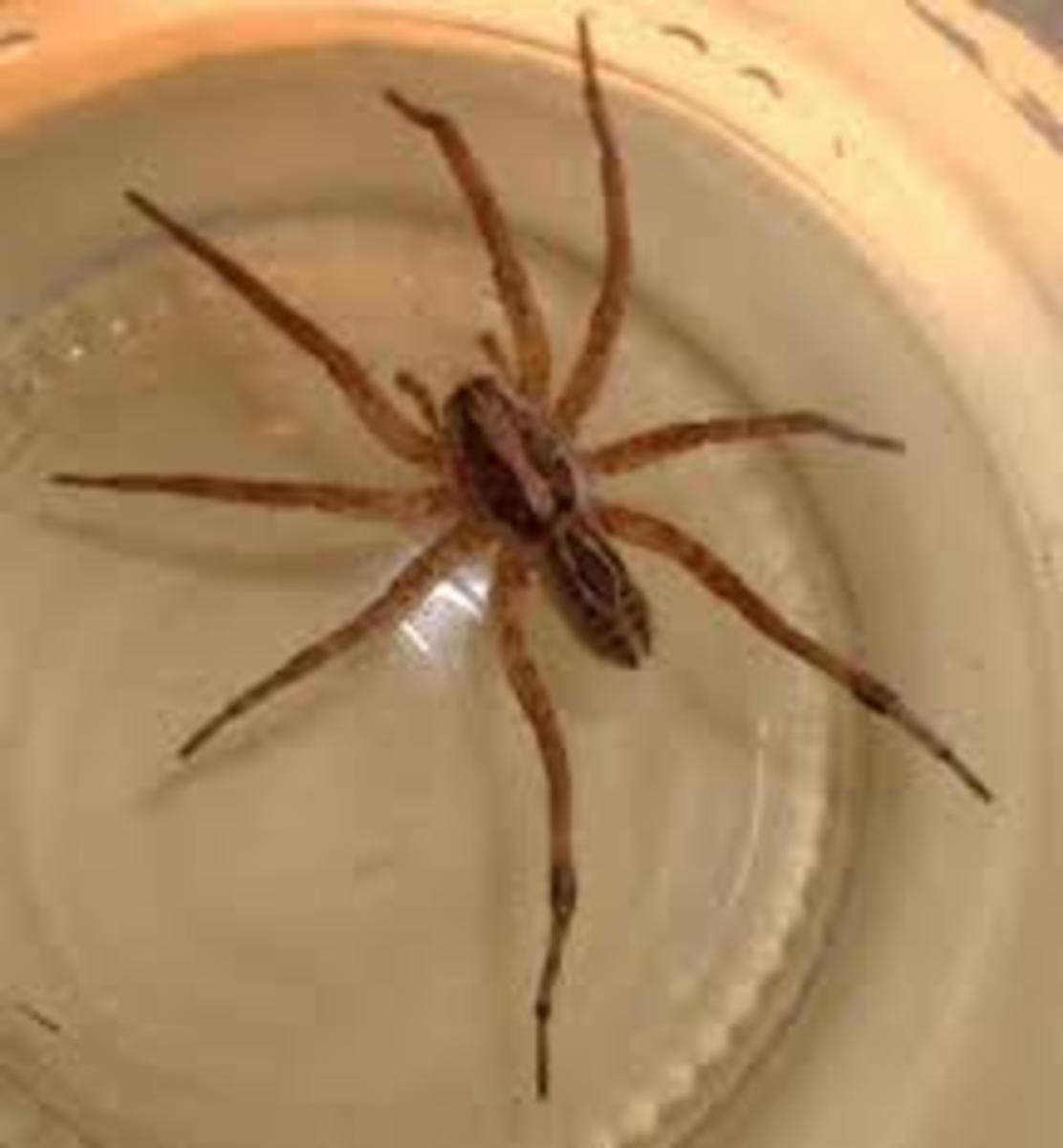 Wolf Spider Bite: What You Need To Do? | HubPages