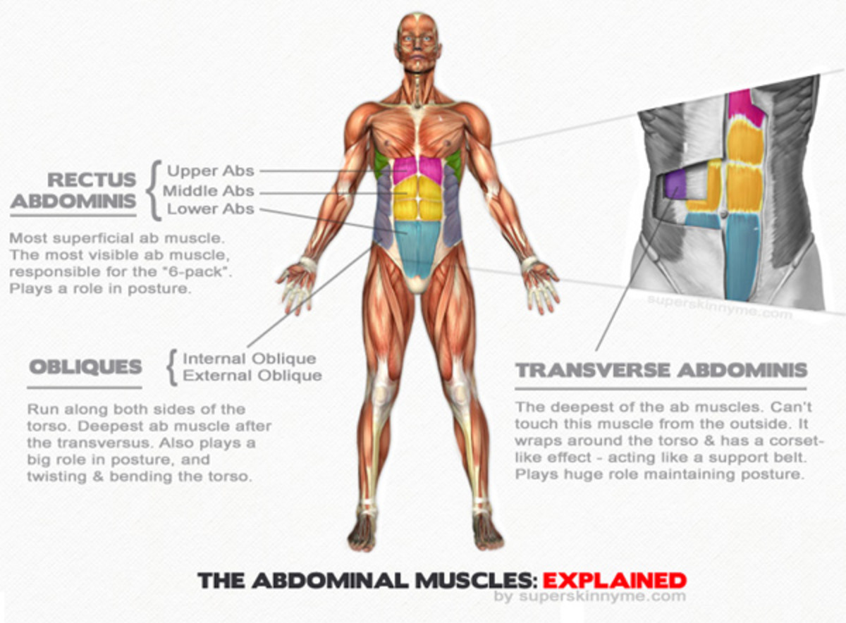 Anatomy of the Male Abdominal Muscles including the obliques with color and full description