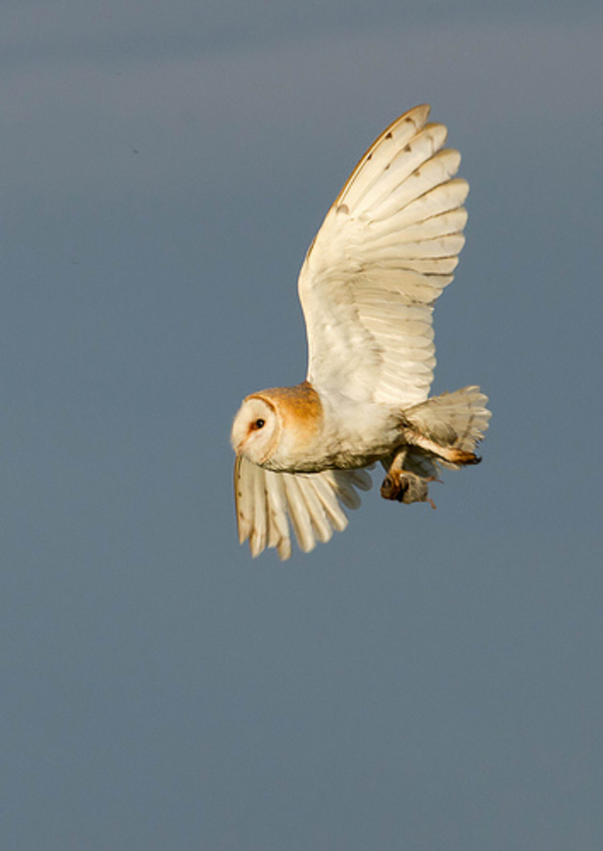 In flight with prey