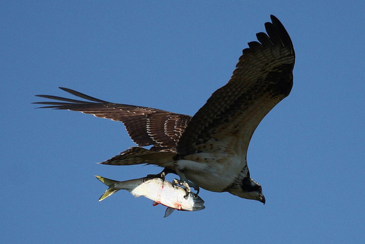In flight with prey