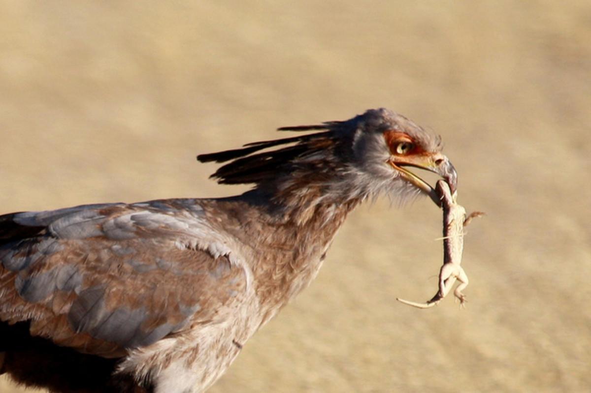 Immature Secretary Bird with a prey