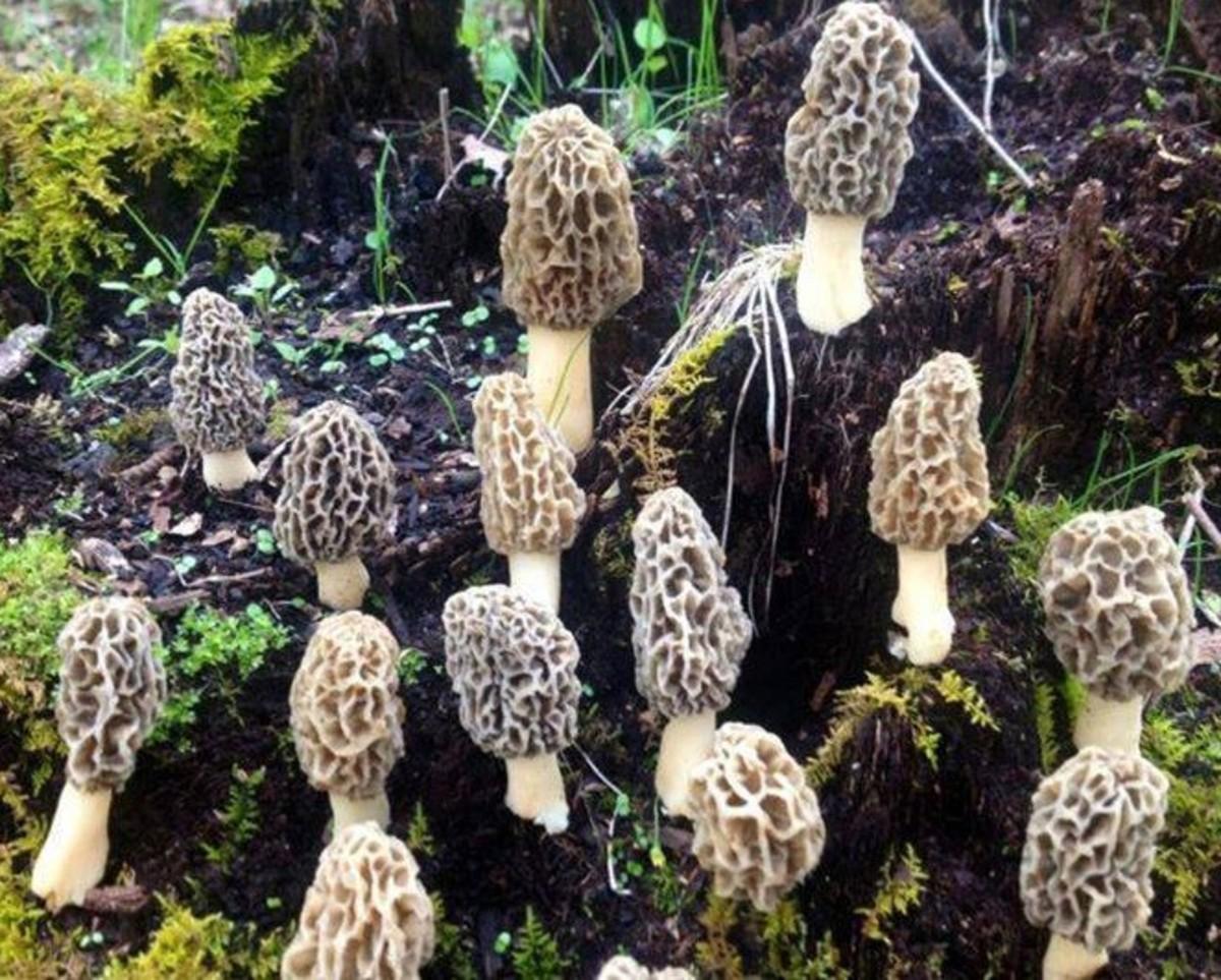 The gucchi or Morchella esculenta (morel mushroom),