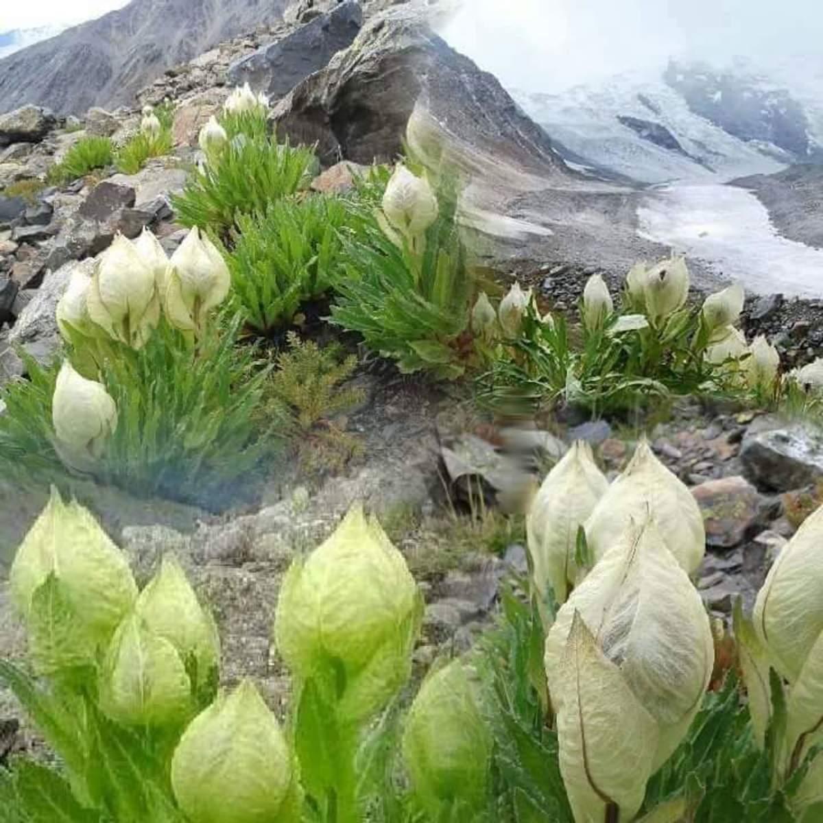 Braham Kamal found at the highest peaks Kinnaur
