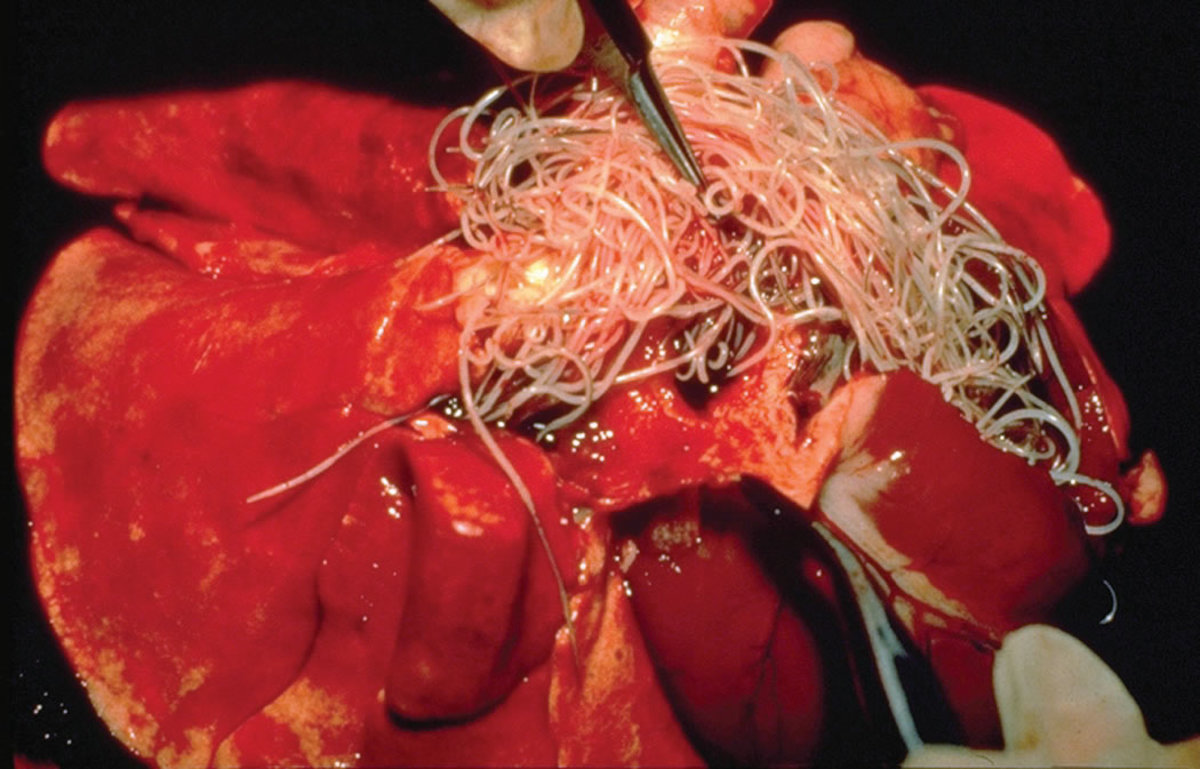 If left untreated heartworms can kill an otherwise health dog.