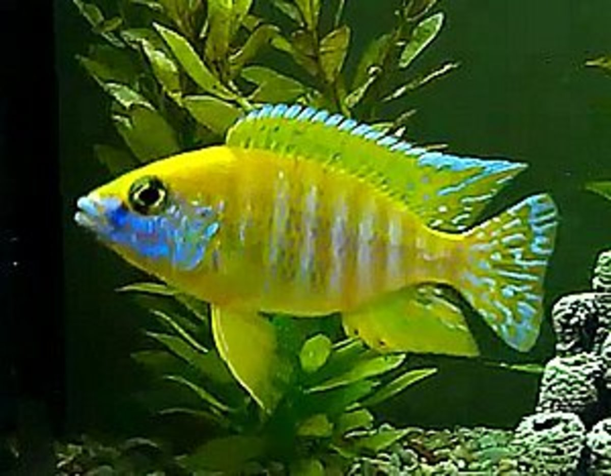 Pictured is a young dominant male Sunshine Peacock cichlid that is starting to show some good color. Dominant males will display the brightest color.
