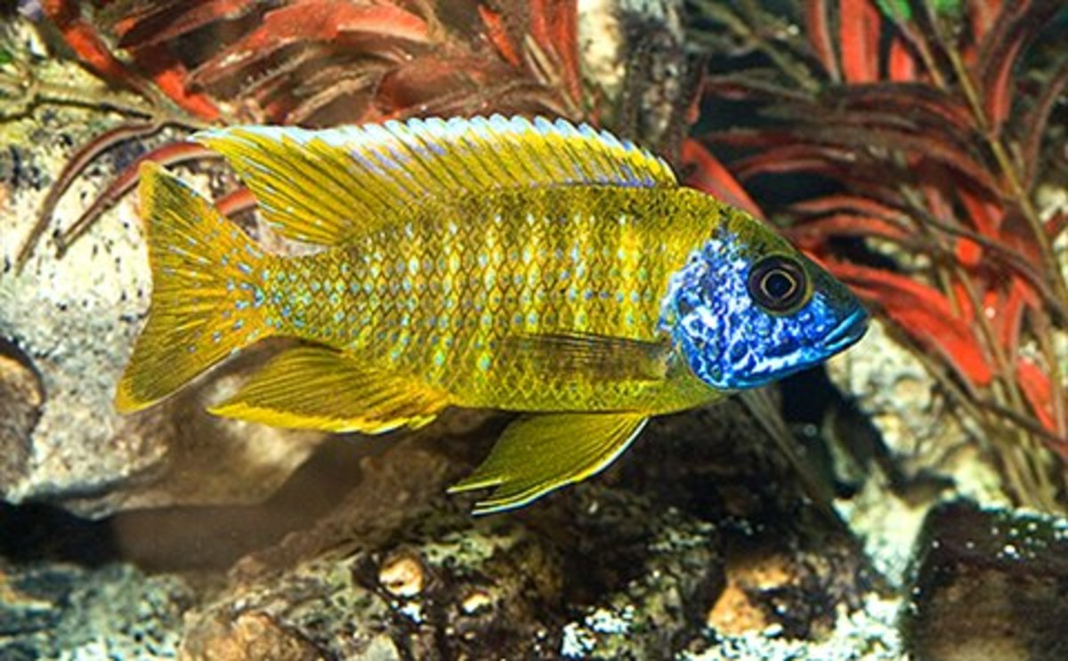 The Aulonocara sp. stuartgranti maleri is commonly known as the Sunshine Peacock because of it's striking yellow color which can been seen in this dominant male.