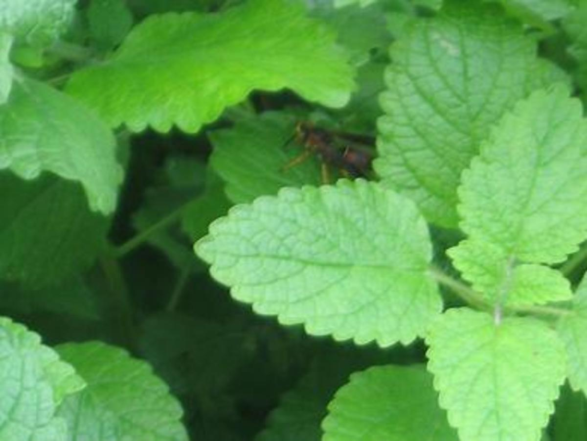 Lemon balm has scallop-edged lime-colored leaves, square stems and grows about 2 feet tall. Tiny white blossoms will bloom when the plant is trying to go to seed.