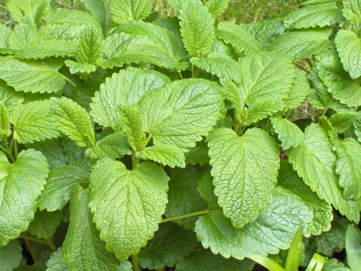 Lovely Lemon Balm Plant.