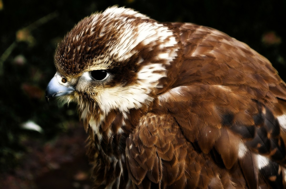 Hawk Close up image