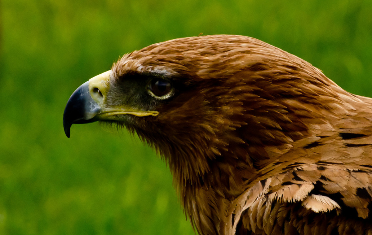 Golden Eagle Pictures
