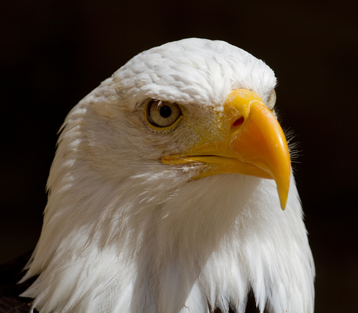 Bald Eagle Picture