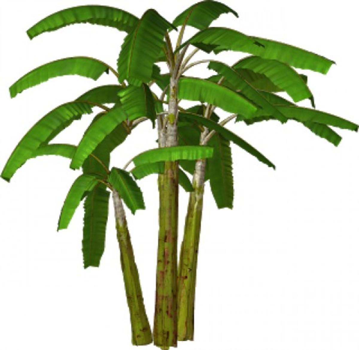 Banana Tree Plants