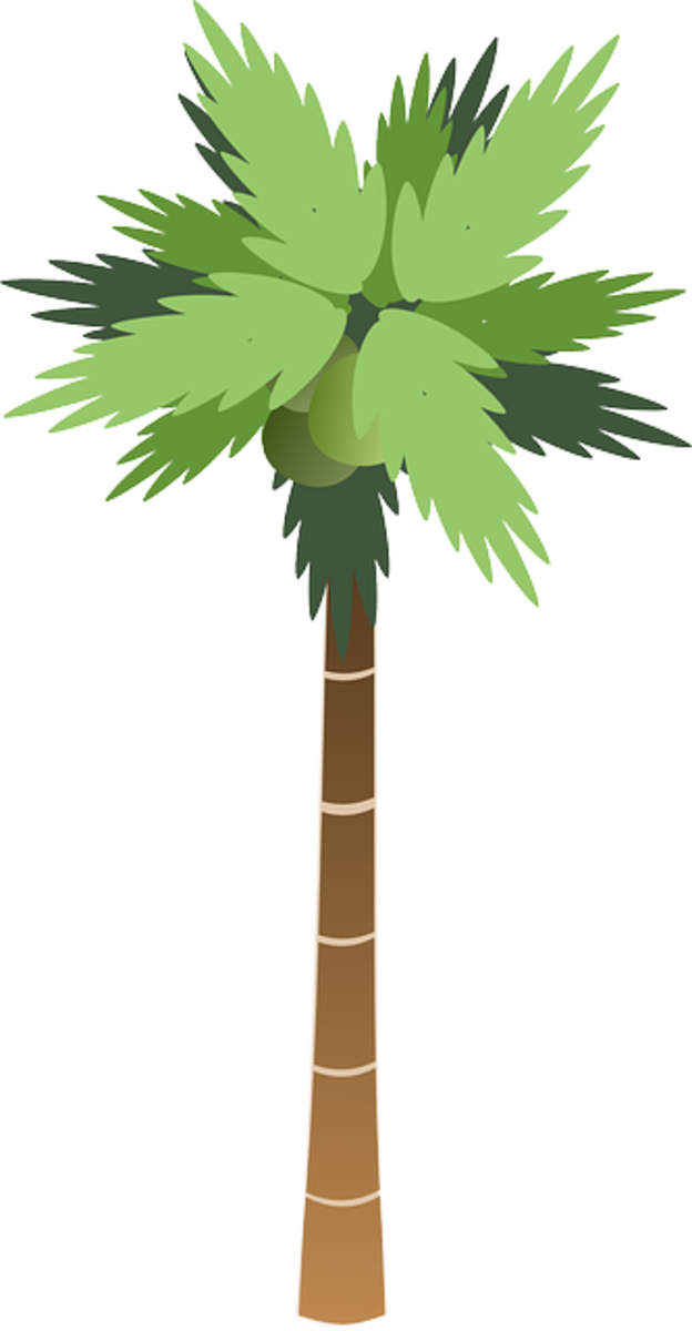 Tall Palm Tree with Ripening Coconuts