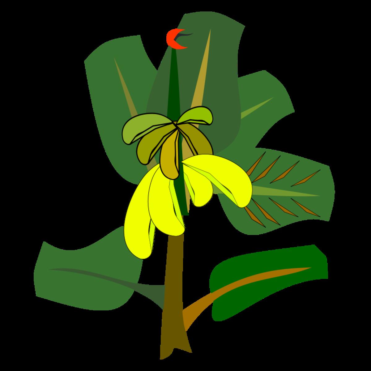 Bananas on Banana Tree Plant