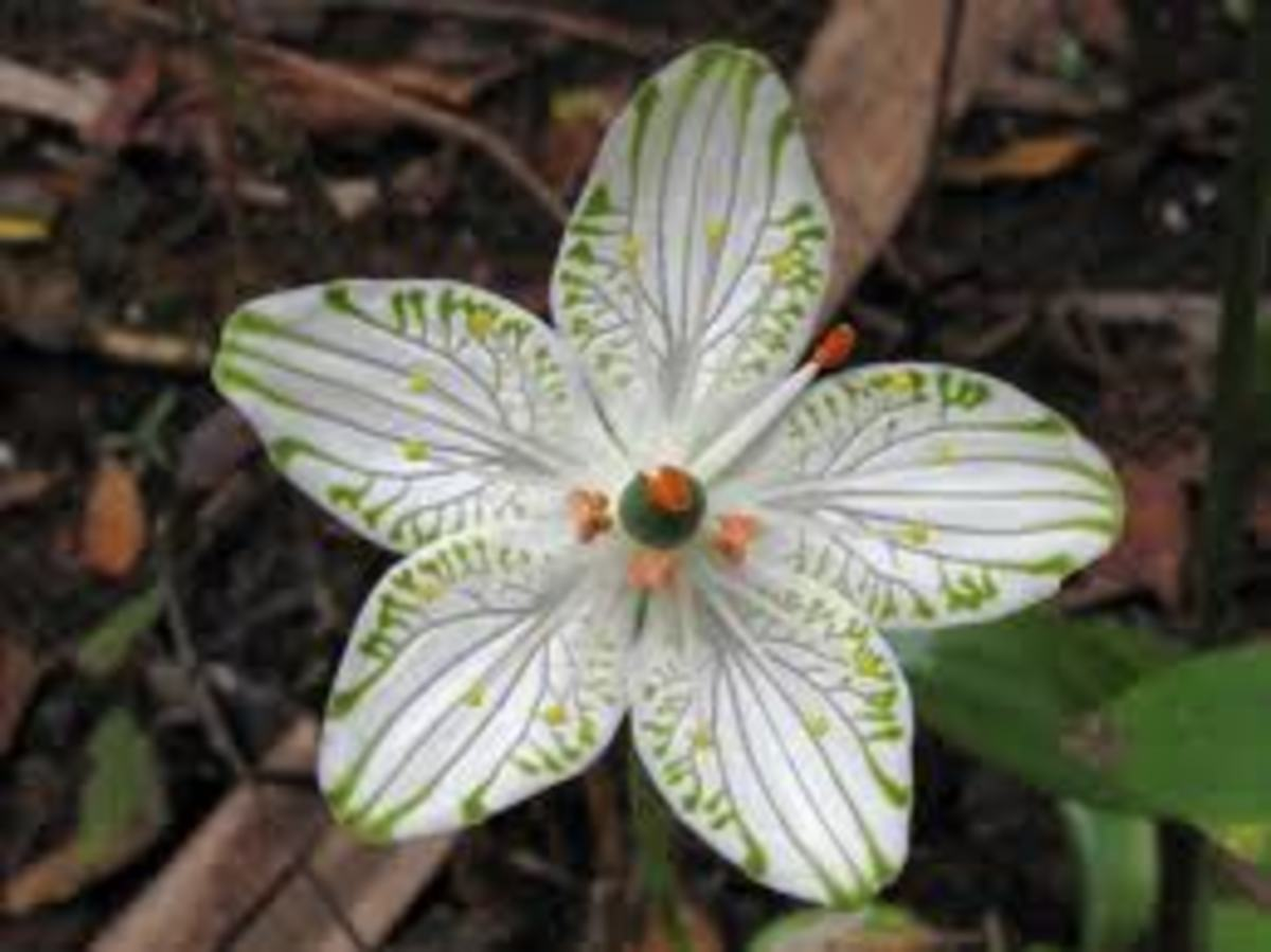 This picture of the Parnassia grandifolia, and many others as well, can be found by clicking on the source link below.
