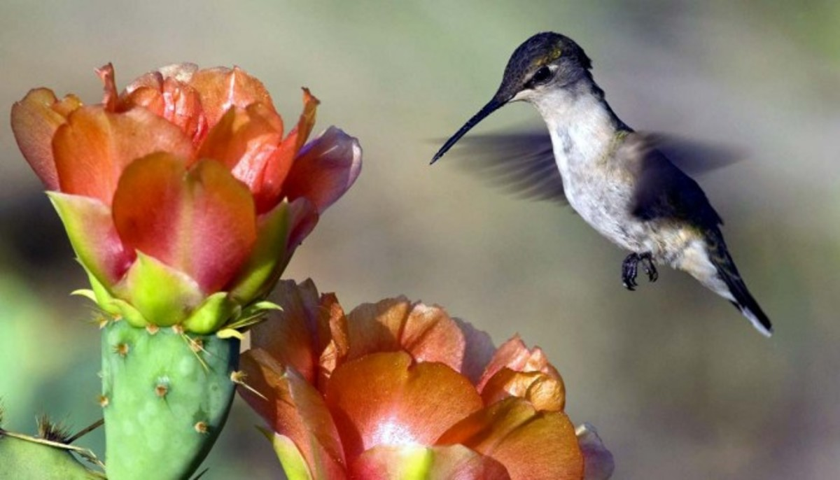 Many humming birds feed of cactus flowers