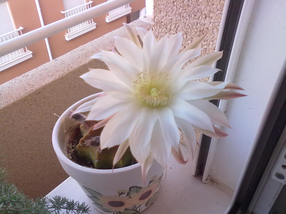Some cactus have the most beautiful fragrant flowers.