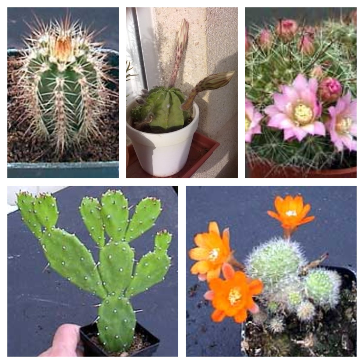 Top row from the left Echinerous, Gymnocalycium in bud, Mammillaria. Bottom row from the left Opuntia andd Rebutia