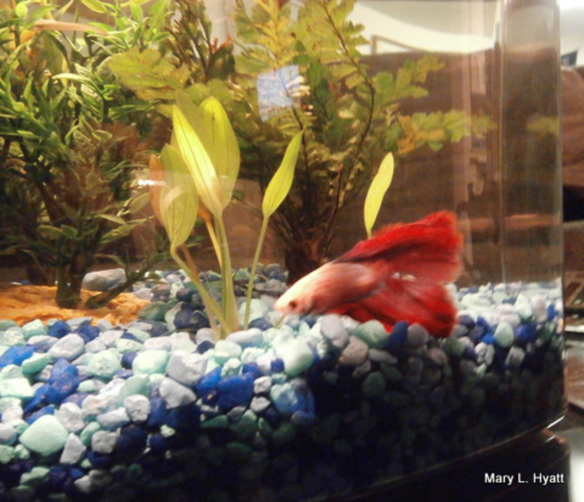the-aquafarm-hydroponic-system-i-have-for-my-betta-fish