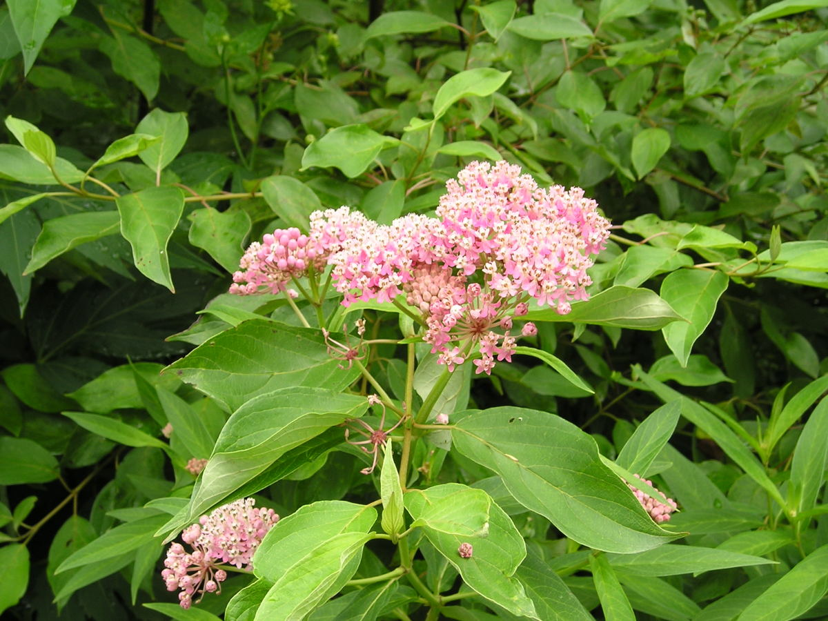 Swamp Milkweed plant in the park