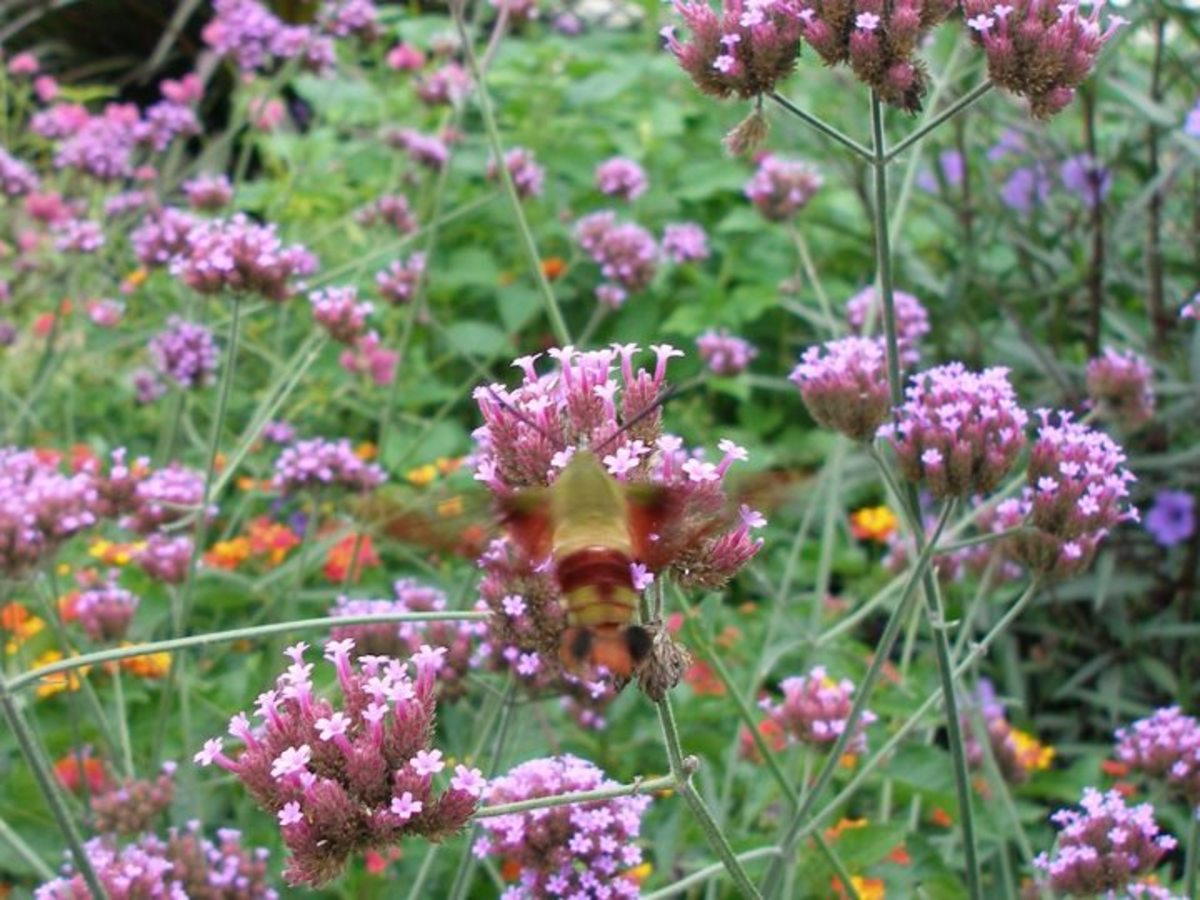 A rare sighting of a hummingbird moth visiting the Conservatory gardens