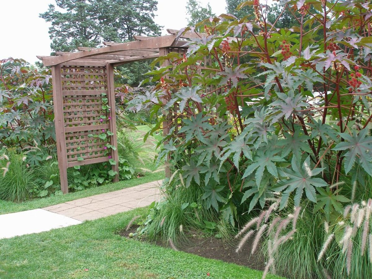 Outside arbor and castor bean plant at the Conservatory