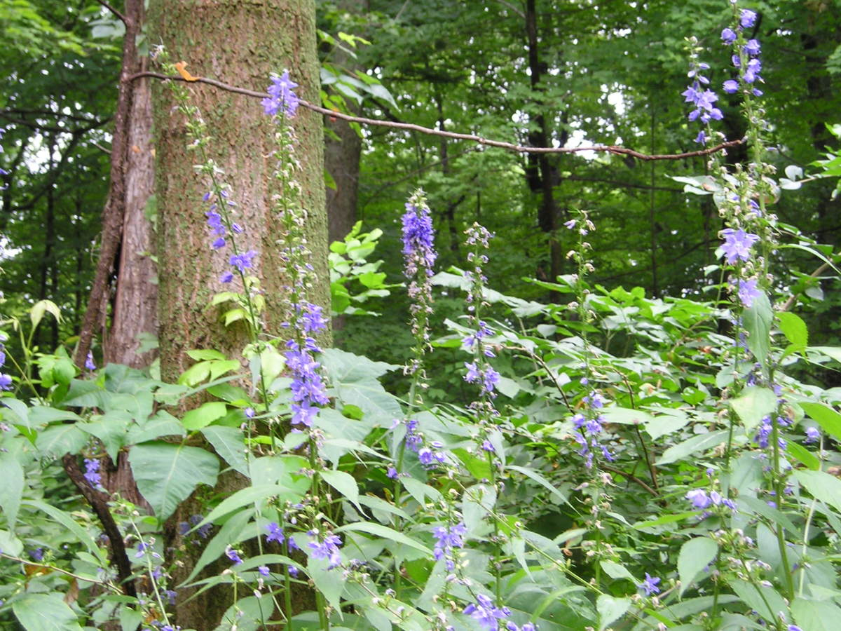 Delphinium in summer inside the park along one of the trails.