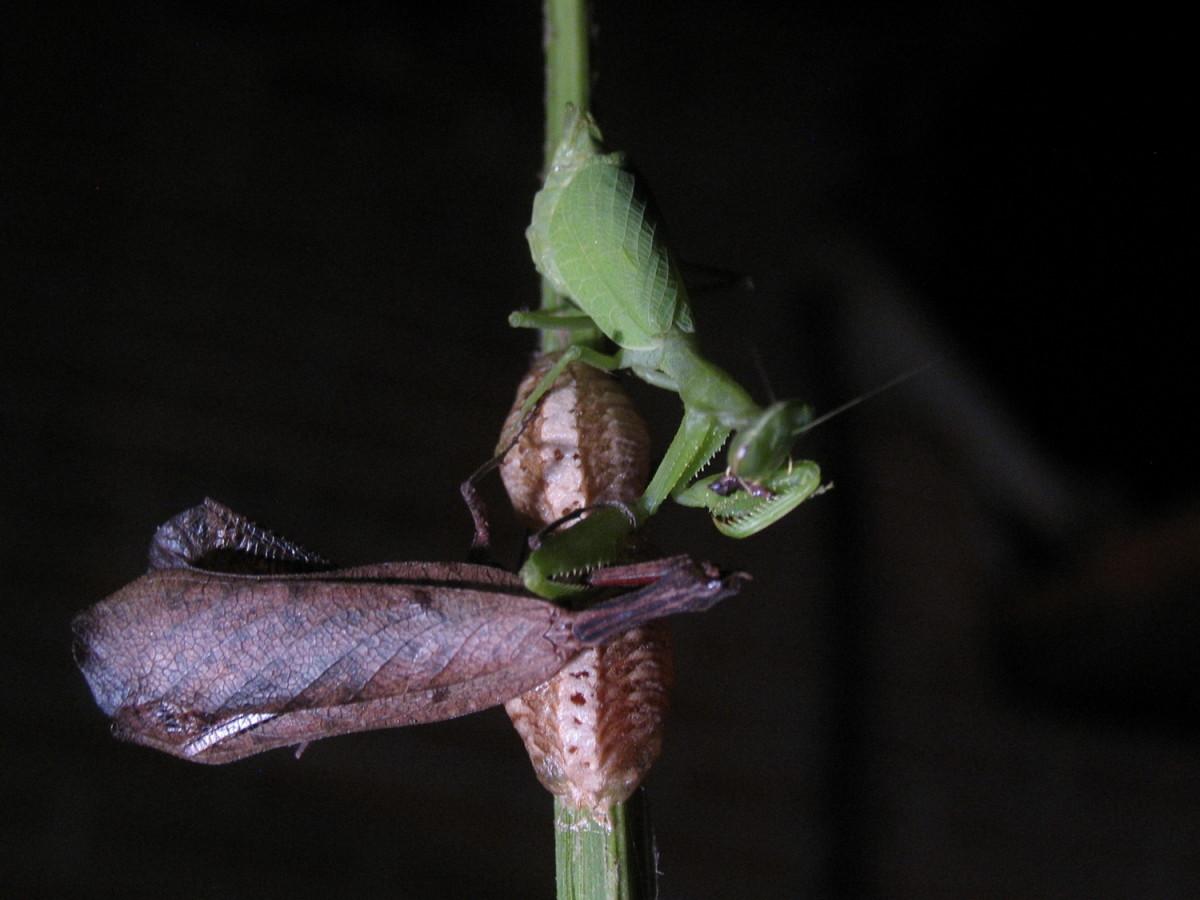 Praying mantis eating another praying mantis