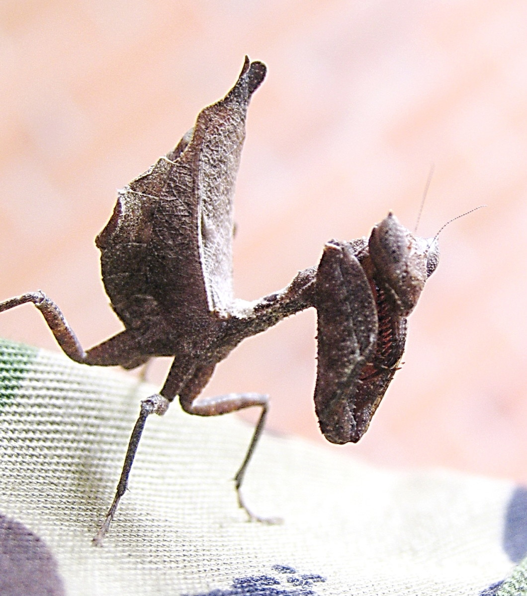 Excellent camouflage of the Praying Mantis