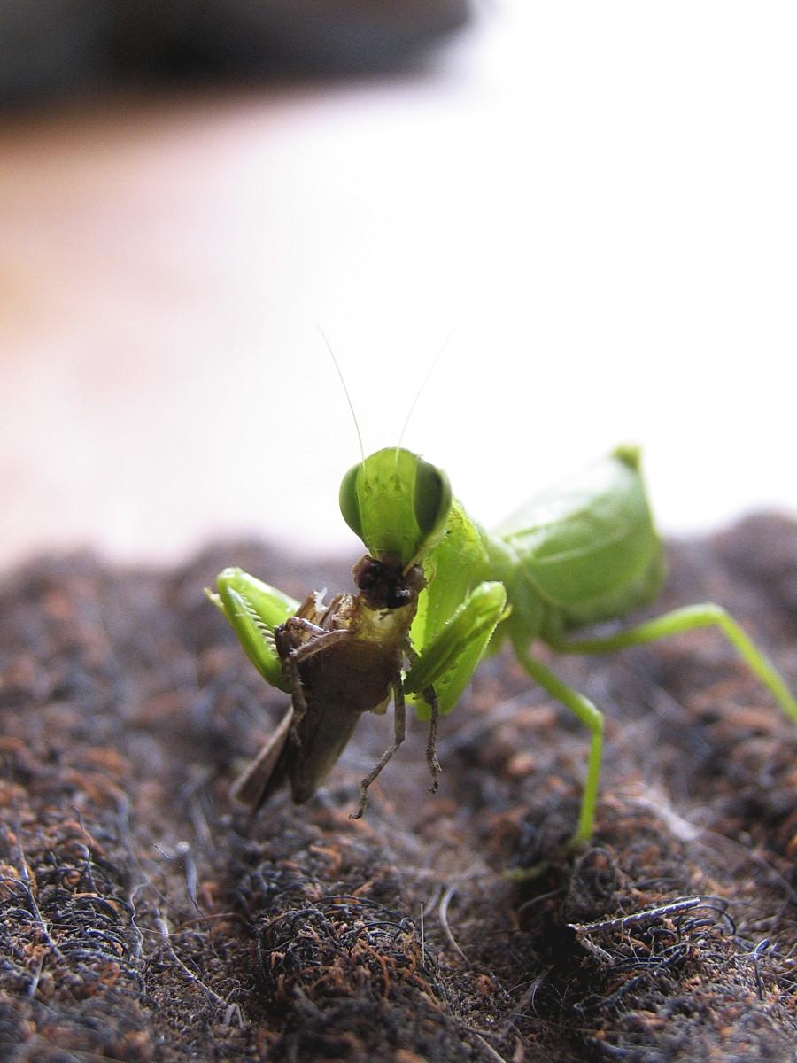 Carnivorous Praying Mantis