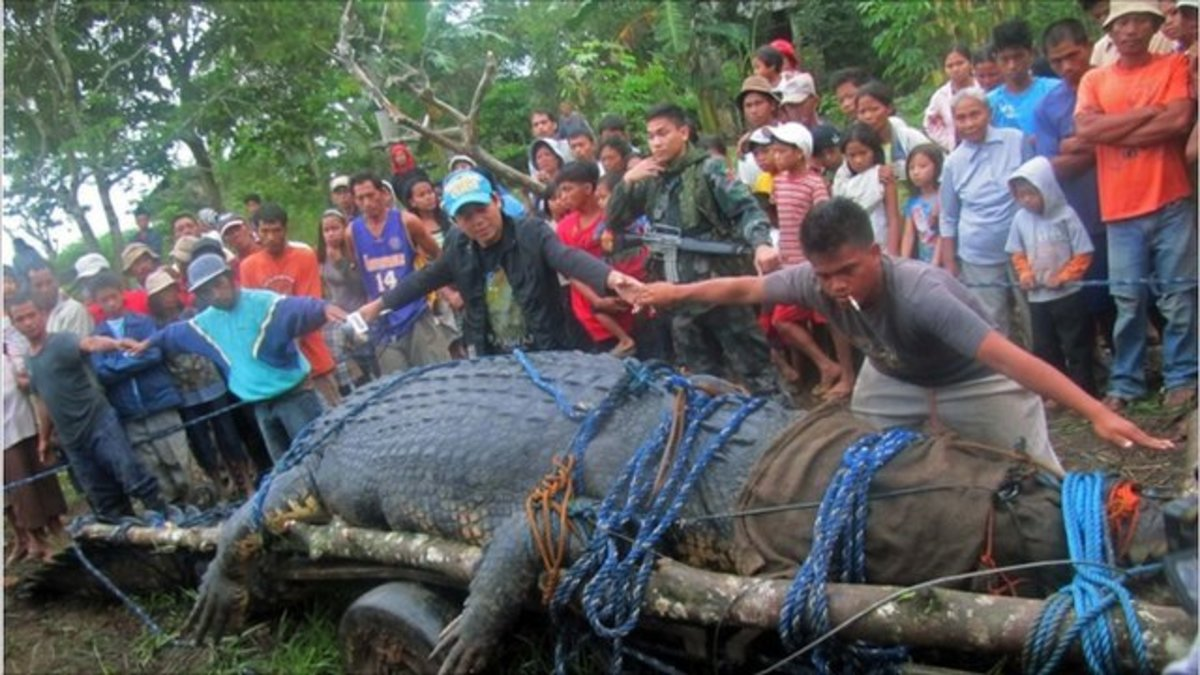 6.4 m (21 foot) Crocodile Caught in the Philippines
