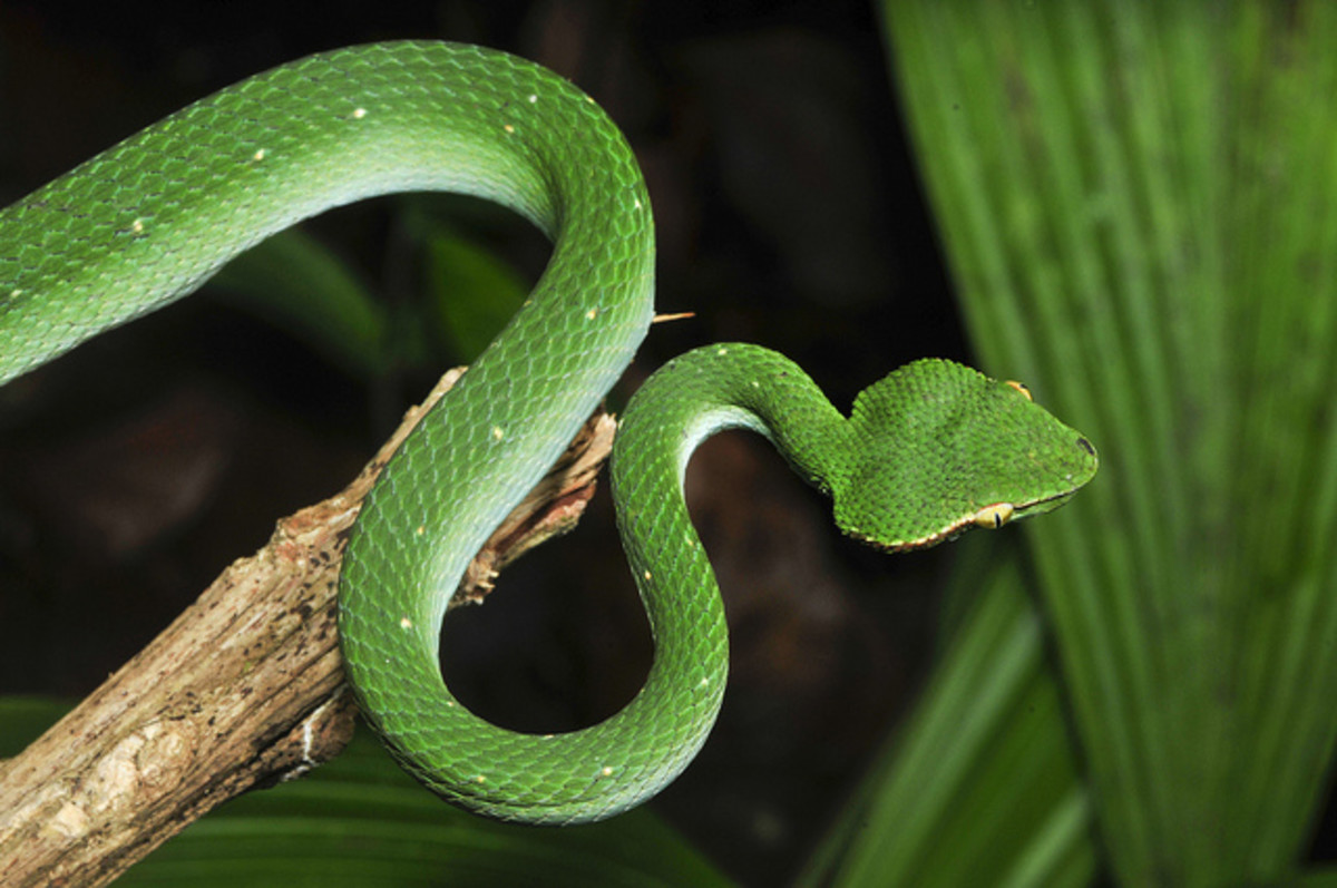 philippine-islands-venomous-spiders-and-poisonous-snakes-and-other-dangerous-animals-and-insects