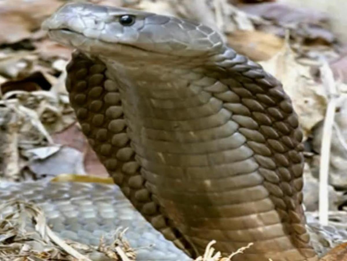 Northern Spitting Cobra